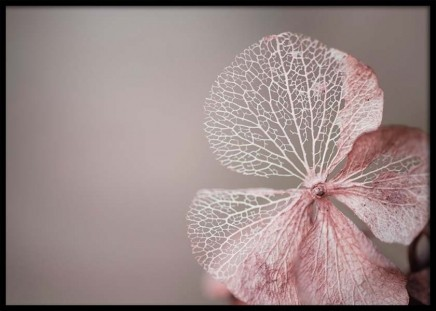 Hydrangea Skeleton Pink Poster in the group Prints / Photographs at Desenio AB (10037)