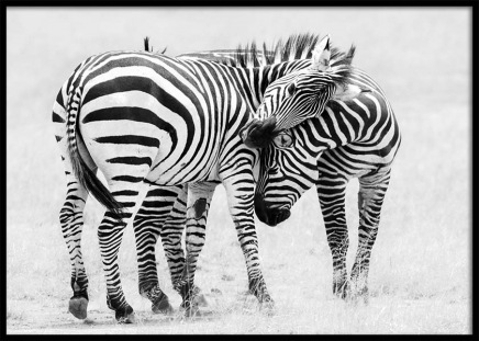 Zebra Love Poster in the group Prints / Black & white at Desenio AB (10398)