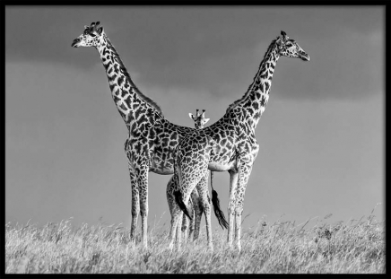 Giraffe Family Poster in the group Prints / Black & white at Desenio AB (10399)