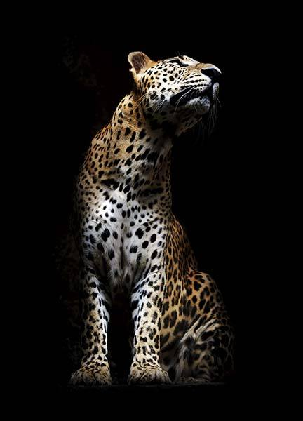 Leopard In Light Poster in the group Prints / Animals at Desenio AB (10404)