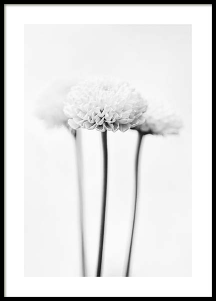 White Chrysanthemums Poster in the group Prints / Black & white at Desenio AB (10421)