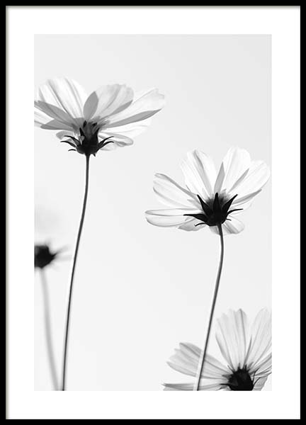 White Cosmos Flowers Poster in the group Prints / Sizes / 50x70cm | 20x28 at Desenio AB (10422)