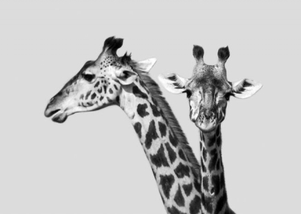 Giraffe Couple Poster in the group Prints / Animals at Desenio AB (10519)