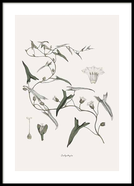 Calystegia Poster in the group Prints / Floral at Desenio AB (10552)