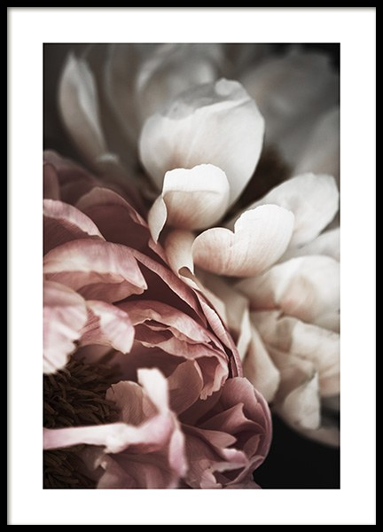 Pink and White Peony Poster in the group Prints / Floral at Desenio AB (10989)