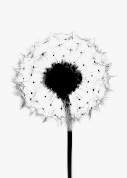 Soft Dandelion Poster in the group Prints / Floral at Desenio AB (11182)