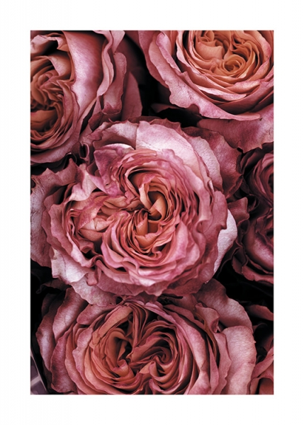 Roses Close Up Poster in the group Prints / Photographs at Desenio AB (11185)