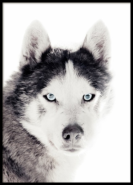 Husky Poster in the group Prints / Animals at Desenio AB (11551)