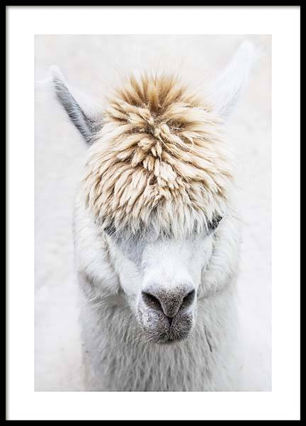 White Alpaca Poster in the group Prints / Photographs at Desenio AB (11668)