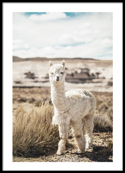 Curious Alpaca Poster in the group Prints / Sizes / 50x70cm | 20x28 at Desenio AB (11670)