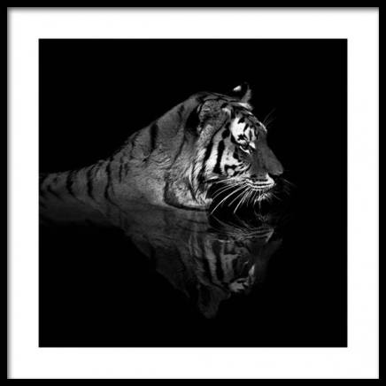 Tiger in Water Poster in the group Prints / Animals at Desenio AB (11688)