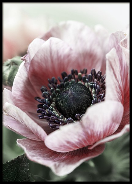 Pink Anemone Flower Poster in the group Prints / Floral at Desenio AB (11786)