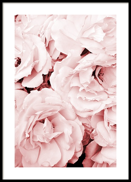 Close Up Pink Roses (21x30) in the group Prints / Floral at Desenio AB (11793-4)