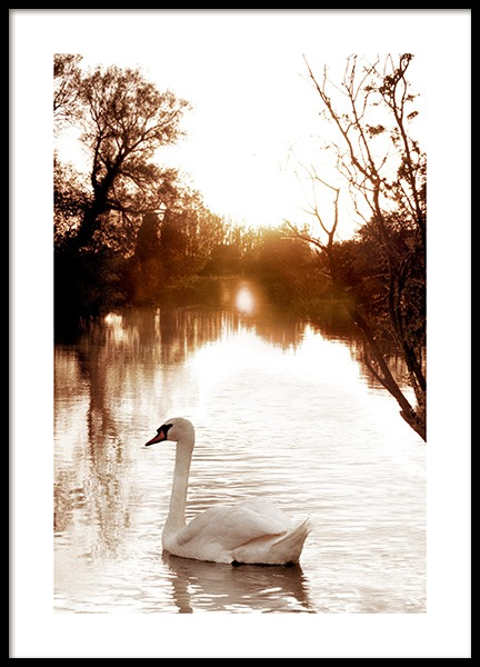 Swan on River Poster in the group Prints / Animals / Birds at Desenio AB (11852)