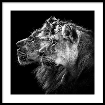 Lions Poster in the group Prints / Photographs at Desenio AB (11856)