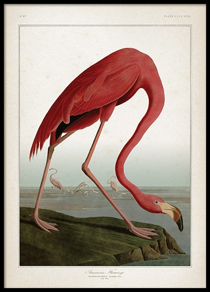 American Flamingo Poster in the group Prints / Animals at Desenio AB (12170)