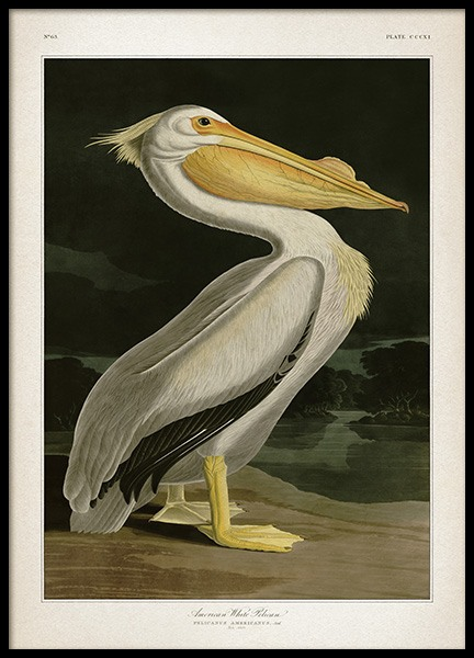 American White Pelican Poster in the group Prints / Retro & vintage at Desenio AB (12171)