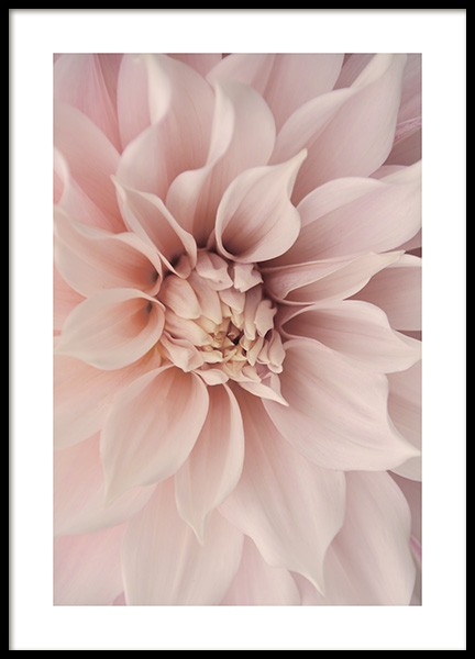 Pink Dahlia Poster in the group Prints / Botanical at Desenio AB (12261)