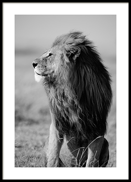 Lion in the Wild Poster in the group Prints / Black & white at Desenio AB (12304)