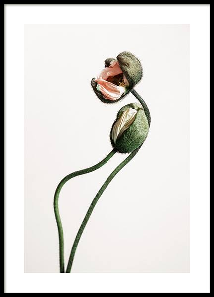 Blooming Poppy Buds Poster in the group Prints / Floral / Flowers at Desenio AB (12313)