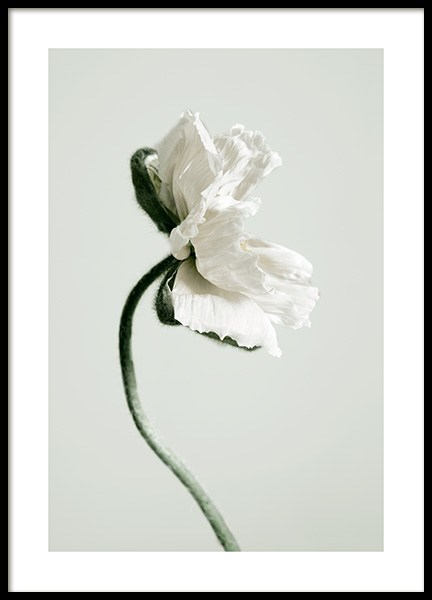 White Poppy Flower Poster in the group Prints / Photographs at Desenio AB (12318)