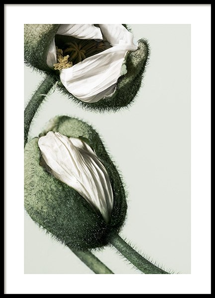 White Poppy Buds Poster in the group Prints / Photographs at Desenio AB (12320)