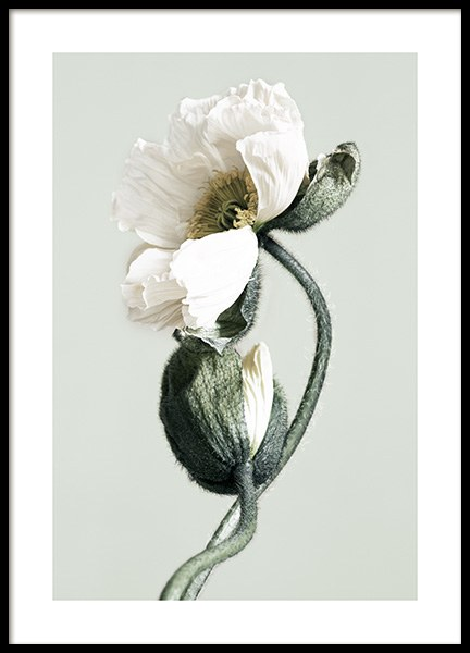 Blooming White Poppies Poster in the group Prints / Floral at Desenio AB (12321)