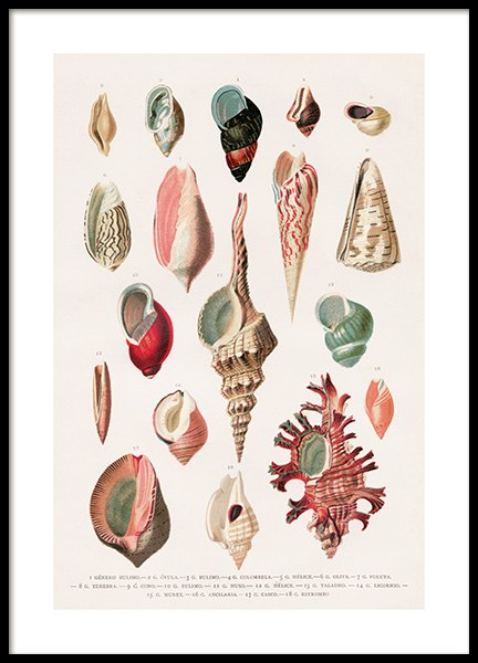 Vintage Seashells No1 Poster in the group Prints / Vintage at Desenio AB (12435)