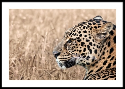 Persian Leopard Poster in the group Prints / Photographs at Desenio AB (12575)