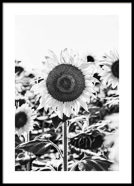 Sunflower B&W Poster in the group Prints / Floral / Flowers at Desenio AB (12902)