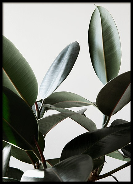 Rubber Plant No1 Poster in the group Prints / Photographs at Desenio AB (12910)