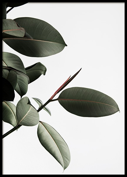 Rubber Plant No2 Poster in the group Prints / Photographs at Desenio AB (12911)