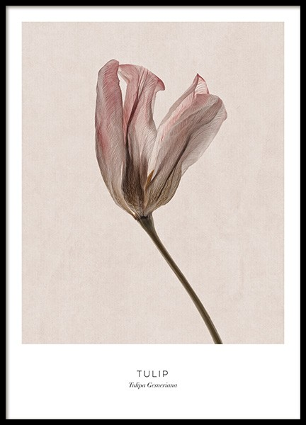 Tulip Poster in the group Prints / Photographs at Desenio AB (12996)