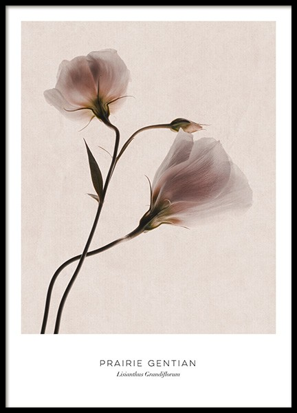 Prairie Gentian Poster in the group Prints / Photographs at Desenio AB (12997)