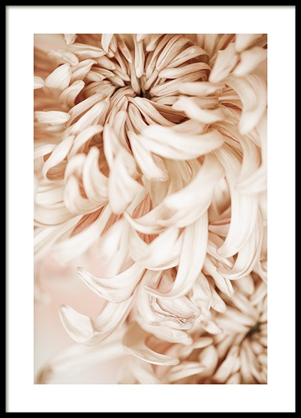 Pink Chrysanthemum No2 Poster in the group Prints / Botanical / Flowers at Desenio AB (13742)