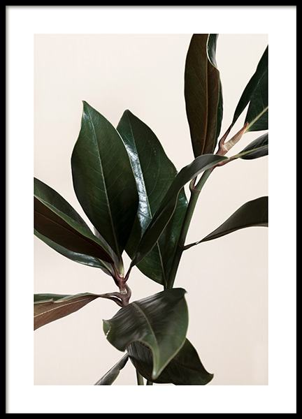 Magnolia Leaves No1 Poster in the group Prints / Botanical / Green plants at Desenio AB (13839)