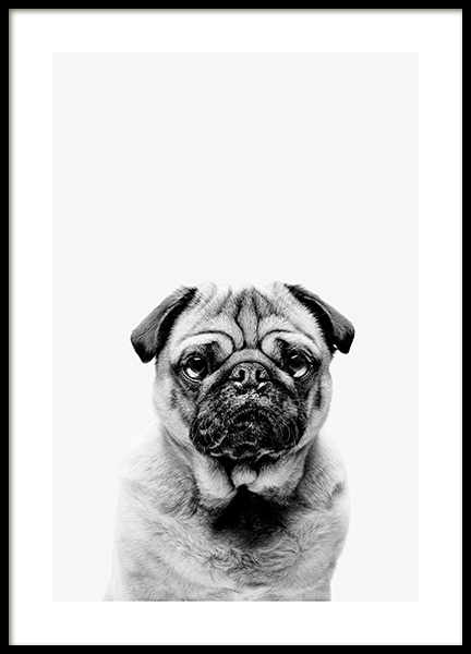 Black and White Pug Poster in the group Prints / Animals at Desenio AB (13864)