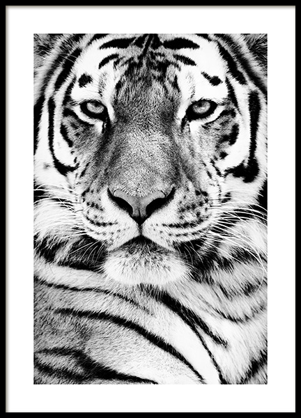 Tiger Portrait Poster in the group Prints / Animals / Wild animals at Desenio AB (13865)