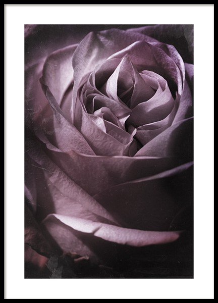 Antique Rose No1 Poster