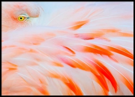 Flamingo Close Up Poster in the group Prints / Animals at Desenio AB (2037)