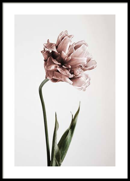 Pink Tulipe No1 Poster in the group Prints / Photographs at Desenio AB (2119)