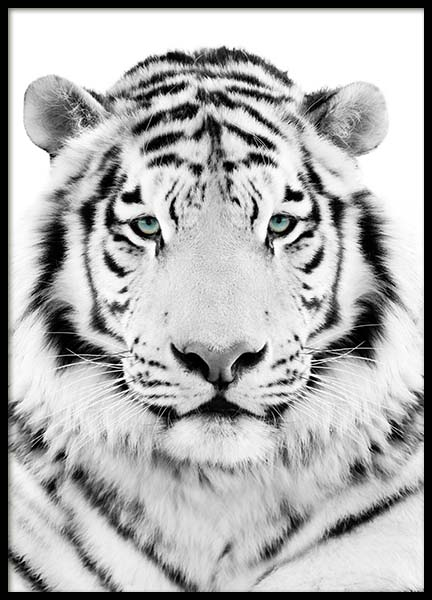 White Tiger  Poster in the group Prints / Sizes / 50x70cm | 20x28 at Desenio AB (2217)