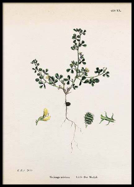 Medicago Minima Poster in the group Prints / Vintage at Desenio AB (2279)