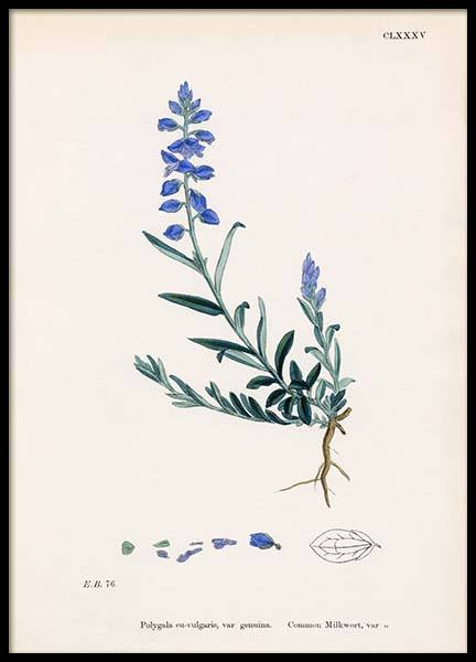 Common mIlkwort Poster in the group Prints / Sizes / 50x70cm | 20x28 at Desenio AB (2280)