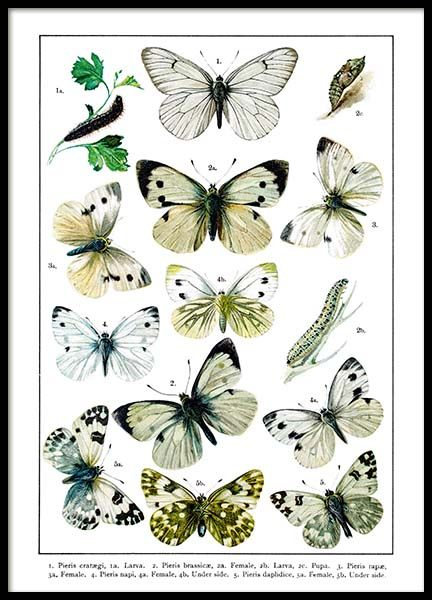 White Garden Butterflies Poster in the group Prints / Animals at Desenio AB (2282)
