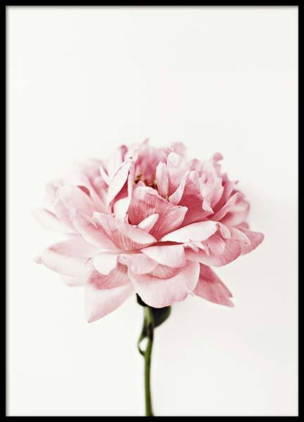 Pink Peony Poster in the group Prints / Floral at Desenio AB (2291)