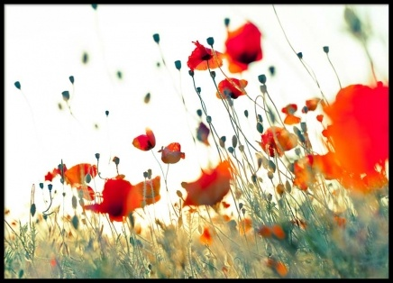 Poppy Field Poster in the group Prints / Nature at Desenio AB (2412)