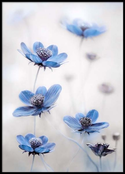 Cosmos Blue Poster in the group Prints / Sizes / 50x70cm | 20x28 at Desenio AB (2536)