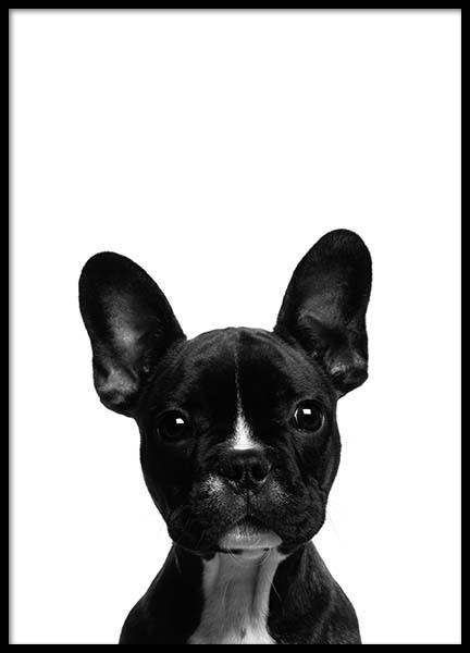 Frenchie Poster in the group Prints / Animals at Desenio AB (2570)