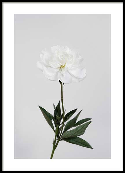 White peony Poster in the group Prints / Sizes / 50x70cm | 20x28 at Desenio AB (2695)